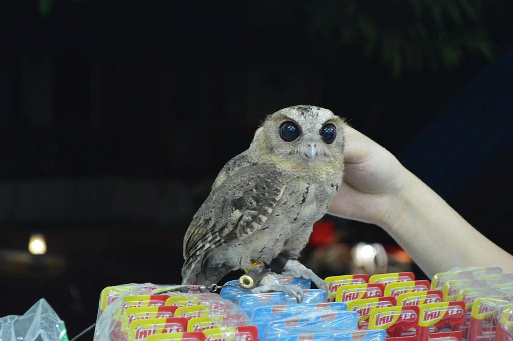 Pet Owl at Kata Beach