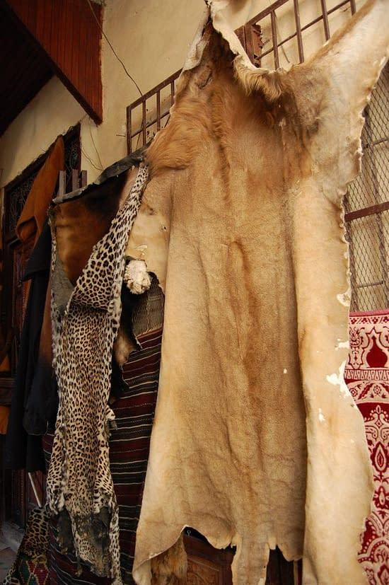 Lion skin rug Medina of Fez